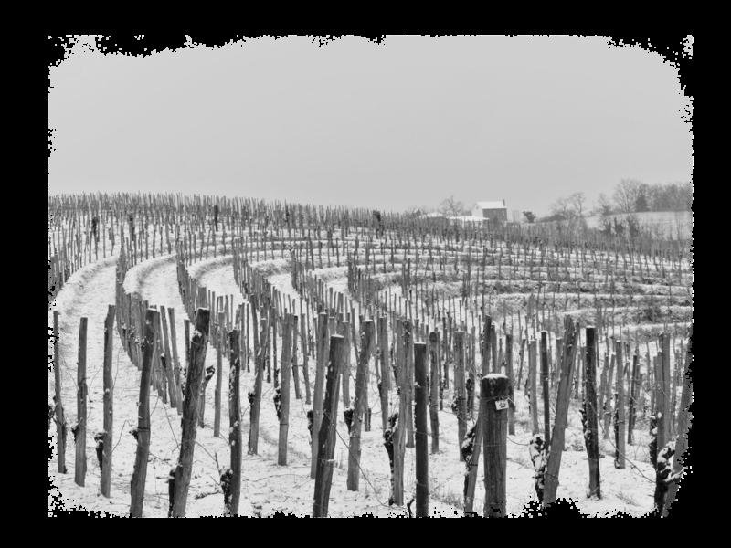 cru-lamouroux-vignes4