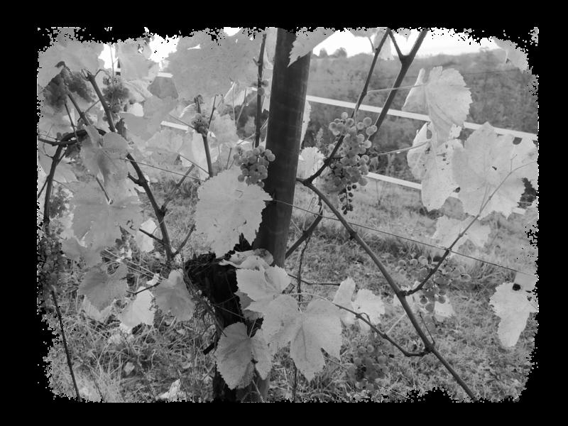 cru-lamouroux-vignes5