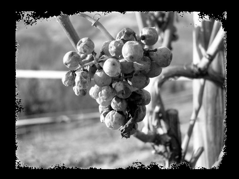 cru-lamouroux-vignes6